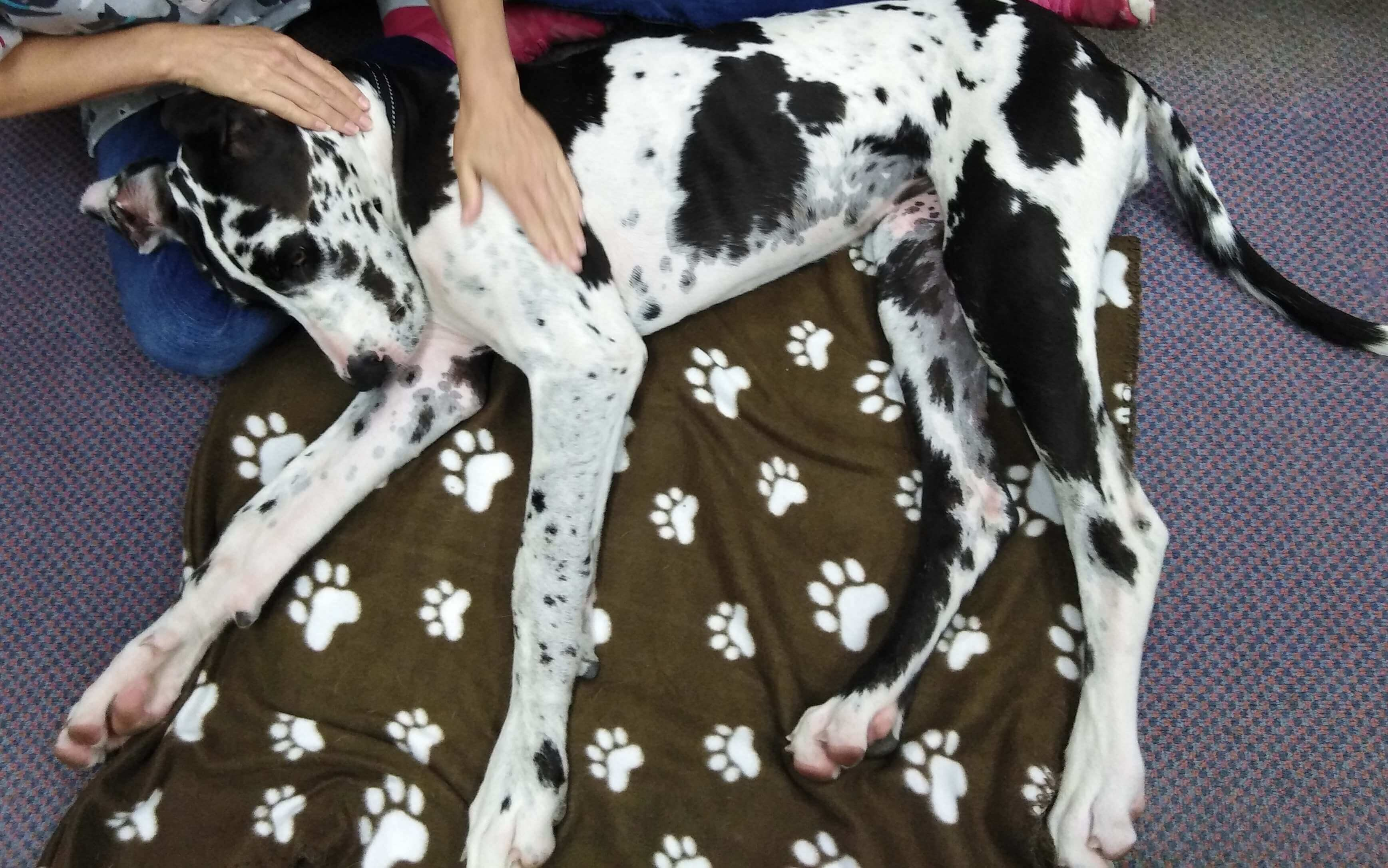 Myofunctional Dog Massage Perth | Holistic Paws = Waggy Tails
