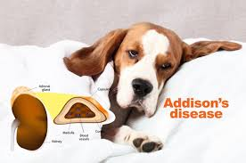 Dog Addison's Disease | Holistic Paws = Waggy Tails